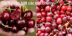 Cách phân biệt các loại cherry trên thị thường trái cây nhập khẩu Việt Nam