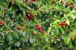 Cherry hạng nhất Tasmanian xuất khẩu qua Trung Quốc, người Úc chỉ được dùng loại 2