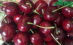Cherry - món quà biếu tặng sang trọng