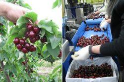 Cherry Tasmanian nổi tiếng trên toàn thế giới