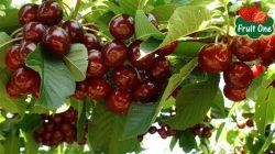 Cherry Úc - đầu mùa hàng về thành phố Hồ Chí Minh