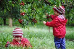 Cherry Úc được vận chuyển bằng đường hàng không về Việt Nam